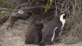 african penguin : Scene of two penguin chicks huddling near their mother Stock Footage
