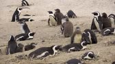 african penguin : View of a group of penguins with nestling chicks Stock Footage
