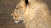 whiskers : Close side view of a lion