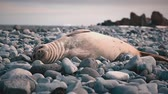 whiskers : Fur seals rest on coastal stones. Stock Footage