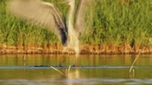volavka : The gray heron dance on the swamp.