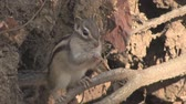 koni : Siberian chipmunk Tamias gnaws nuts on a tree. (close-up)