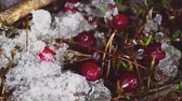 hoarfrost : Melting snow reveals red berries. time-lapse