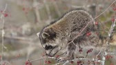 mascarada : Raccoon eats berries on a tree in the forest. Stock Footage