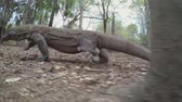varanus : Komodo Dragon goes in the woods close up (slow motion)