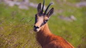 antilop : Close-up of a steppe gazelle