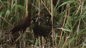 Bird glossy ibis (plegadis falcinellus) on a swamp in a nest with chicks.
