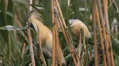 plunge : Bird of the yellow heron (Ardeola ralloides) on the swamp. Stock Footage