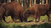 belarus : A herd of bison in the Elanetsk reserve (close-up)