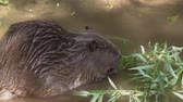 bóbr : Beaver on the river bank close-up. Wideo