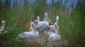 Pelicans in the reeds near the pond. (close-up) Wideo