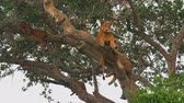 uganda : Lion resting on a tree. (East Africa, Uganda)