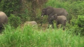 hipopótamo : National park in Uganda. (East Africa) elephants on the river bank. Stock Footage