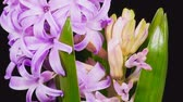 hyacinth flower opens on a black background (time-lapse)