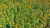 céu claro : View of the sunflower field from above