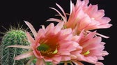 кактусы : flowers on a cactus bloom (time-lapse) Стоковые видеозаписи