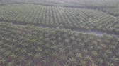 kokosový ořech : Aerial view of large palm plantations (palm oil) in Malaysia.