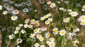 blossom : Chamomile flowers on a summer meadow