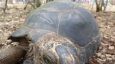 scarcity : turtle in slow motion on prison island in zanzibar in africa Stock Footage