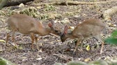 two small deers in zanzibar prison island forest in africa Стоковые видеозаписи