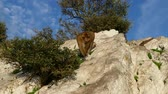 zoologia : famous wild macaque monkeys on a gibraltar rock