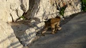 famous wild macaque monkeys on a gibraltar rock