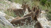 естественно : mountain goats on rocks in nature around el chorro in spain