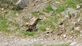 wild marmot in an alpine habitat Стоковые видеозаписи