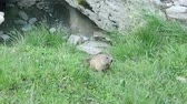 естественно : and shy marmot in a mountain meadow Стоковые видеозаписи