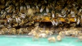 food : Bee at the entrance to the green beehive Stock Footage