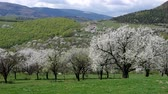 blossoming : Cherry orchad cherry trees blooming in spring in orchad Stock Footage