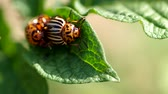 colorado potato beetle : Colorado beetles - Leptinotarsa decemlineata mating on potato leaf