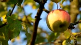 crab apple : Apple on the tree and ble sky Stock Footage