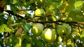 crab apple : Green apple on the tree and ble sky