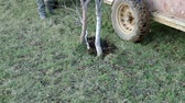 plant fertilizer : Fertilizing the tree with manure in autumn