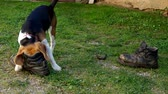 Dog beagle playing with two shoes on a green grass Стоковые видеозаписи