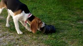 Dog beagle playing with a shoe on a green grass Стоковые видеозаписи