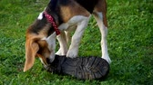 Dog beagle playing with a shoe on a green grass Wideo