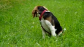 Beagle puppy on green grass tied on a leash