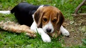 Beagle puppy eats the shells of eggs on green grass