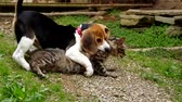 Beagle puppy plays with a cat and gently bitten