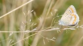 Common Blue butterfly (Polyommatus icarus) on grass