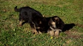 cane pastore : Two little german shepherd puppies relaxing on green grass