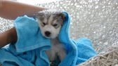 cal : Owner drying siberian husky puppy off with a towel after bath