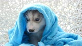 cal : Blue eyes siberian husky puppy after bath is covered with a blue towel