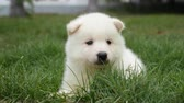 śmieszne : Close up of white puppy lying on green grass under sunlight