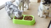 tabby : Cute puppy and kitten eating dry food together,slow motion