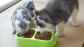 feline : Cute puppy and kitten eating dry food together,slow motion