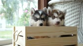 śmieszne : Cute siberian husky puppies paying in wooden crate