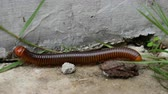 spirala : Large Millipede Mating Wideo